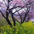 今年も河津桜のお花見を決行しました。