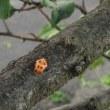 グミの木の実と、てんとう虫の蛹。