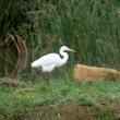 9/24探鳥記録写真-2(響灘ビオトープの鳥たち:セッカ、ダイサギほか)