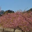 熊本 アスペクタ_南阿蘇桜公園 ~ 2018年3月23日 桜の開花状況