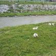 大川のヤギ達。水温上昇、魚の生態に変化(大阪湾)。