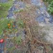 トマトの畝の跡のマリーゴールド