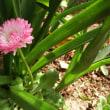 ヒナギク(デージー)開花