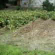 黒大豆の枝豆、初採り