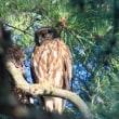 ●兼六園のアオバズク 瓢池のアカマツの木に 今年も会えました♪ 新盆