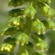 クワモドキ(オオブタクサ)の雄花がたくさん