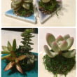 春に向けて楽しみの多肉植物