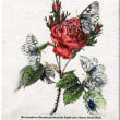 Roses with insects