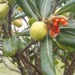 トベラの果実が熟して赤い種子が飛び出しました アジュール舞子