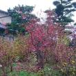 紅葉するブルーベリー