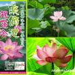 「町田薬師池公園」観蓮会にむけてハス開花中・・・!!