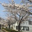 数年後桜が消えるかもしれない・・・?
