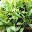 ほうれん草植え替えとイエローアイコ発芽