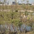 河原の雑木に宿り木