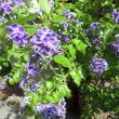ジュランタ・タカラヅカの花
