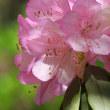 桂昌寺シャクナゲの花