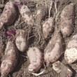 丹波の<黒枝豆>の収穫