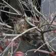 今年もメジロの巣を発見