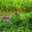 雨の中のノゴマ  ①