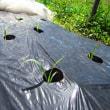 トウモロコシ「おおもの」(1)雌花出現と4回目・エダマメ「タンクロウ」のタネまき
