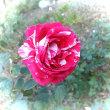薔薇咲いてますよ