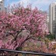 高松くすのき公園の紅梅が真っ盛りです