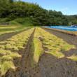 ◆ 稲刈り