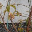 ブルーベリー 花芽が成長してきました