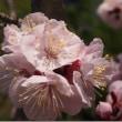 4月10日(火曜日)「杏の花」(伊佐爾波さん)