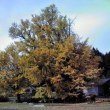 巨木の銀杏(いちょう)