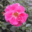 秋の薔薇1021
