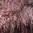 鈴鹿の森庭園・しだれ梅祭り(ライトアップ)