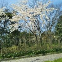 付き添いと桜と