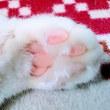12月17日(日)のつぶやき 冬場の肉球もふもふ(ФωФ)ノ #肉球 #白猫 #もふもふ #cat