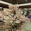 大阪天満宮 盆梅と盆石展
