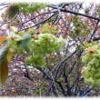遅咲きの桜(^^♪黄緑色の八重の花を咲かせる珍しい桜「御衣黄(ぎょいこう)」