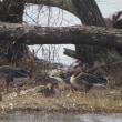 湖北の鳥たち(コハクチョウ・オオワシ他)