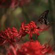 群馬昆虫の森 彼岸花2017