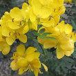 カッシャという花