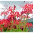 彼岸の入り(^^♪花は葉を思い、葉は花を思う 赤い花「彼岸花(曼珠沙華)」