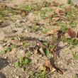 イチゴの葉掻き及び周辺の雑草取りしました。