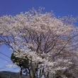 桜花爛漫!(例年より10日ほど早そう)