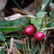 今朝の残月、朝焼けと日の出、ヤブコウジの赤い実とツルリンドウの実。