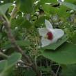 オオヤマれんげ咲く