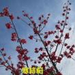 散歩道に河津桜と寒緋桜が綺麗に咲いてる。