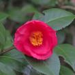 京都府立植物園の椿2