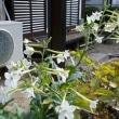 白い花タバコと タカサゴユリ