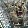 280gで保護された仔猫は...【9月TNR活動】