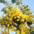 黄色いフサアカシア