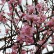 つくば実験植物園河津桜開花進む